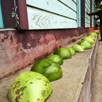 calabash gourds ready to become bowls
