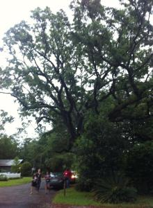 An exemplary specimen of Mississippi's incredible oak trees