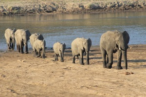 I captured this photo of a herd of elephants crossing a sandbank at South Luangwa National Park in Zambia.